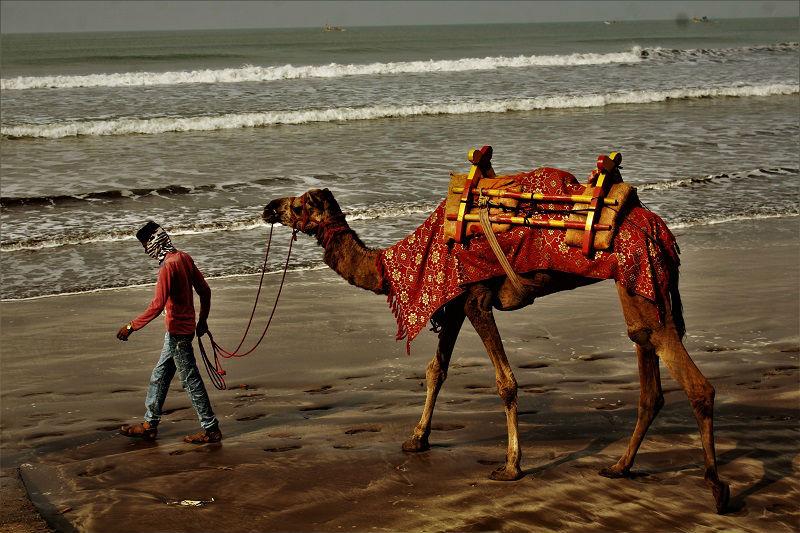 Camel at Shrivardhan Beach