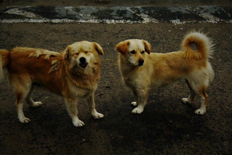 Dogs at Yuksom Sikkim