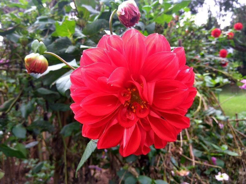 Flower at Ward's Lake Shillong