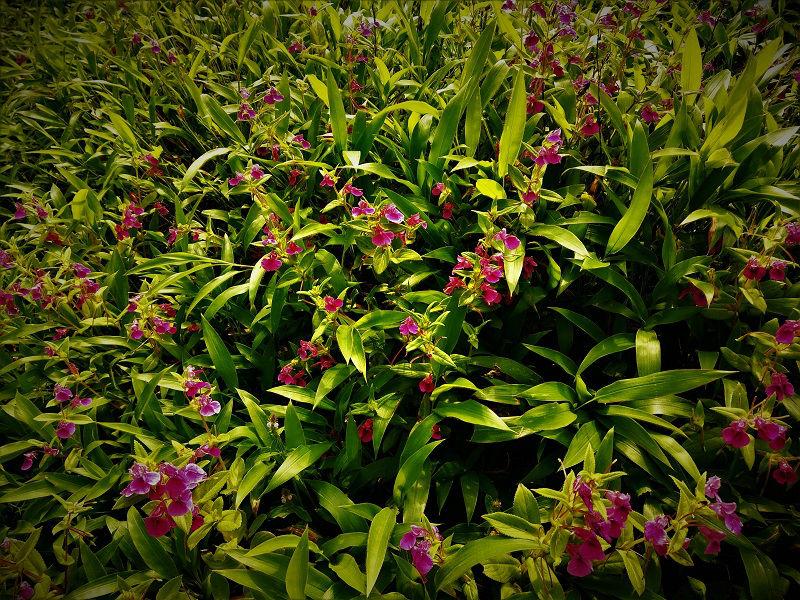 Flowers ar Kaas Plateau Satara