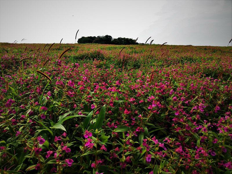 Pink Flowers Kaas Plateau Satara
