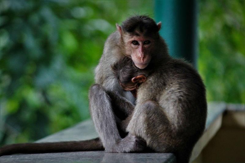 monkey at Jog Falls karnataka