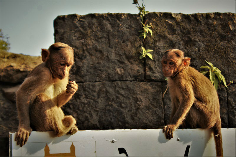 monkey at Lohagad Fort near Pune Mumbai