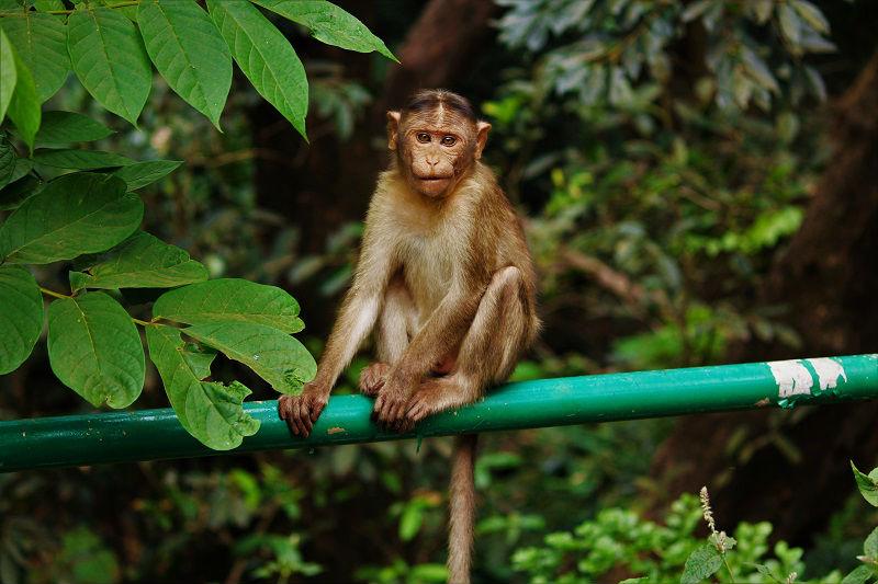 monkey Matheran hill station