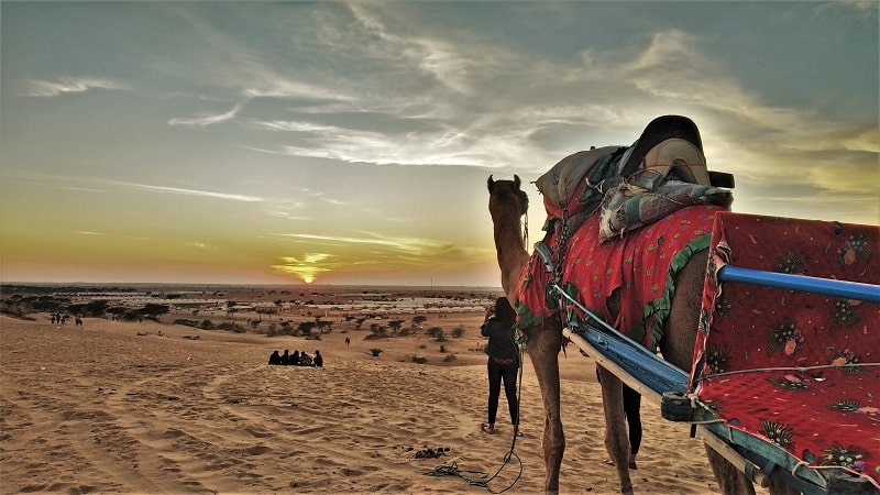 Camel watching sunset at Sam jaisalmer