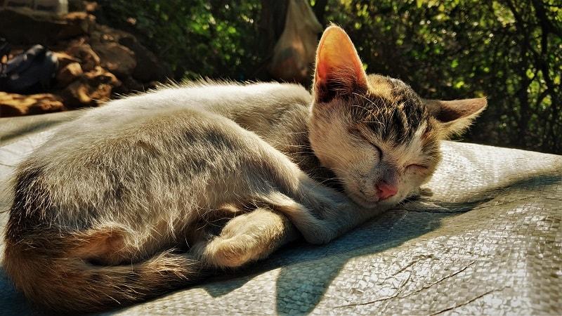 Cat on way to Kalavantin Durg Trek