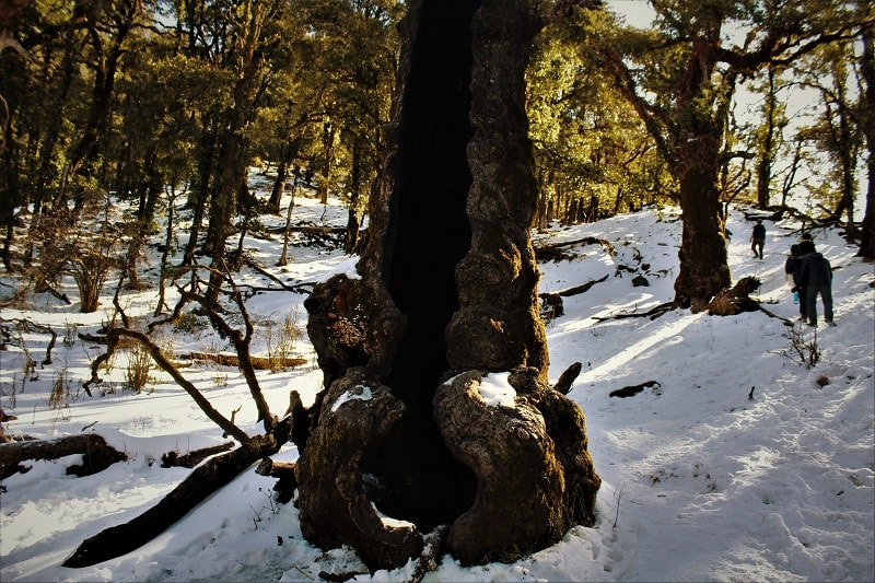 Hollow tree at Nag Tibba Trek