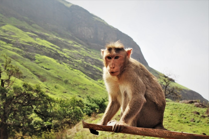 Monkey at Brahmagiri Hill near Nashik city