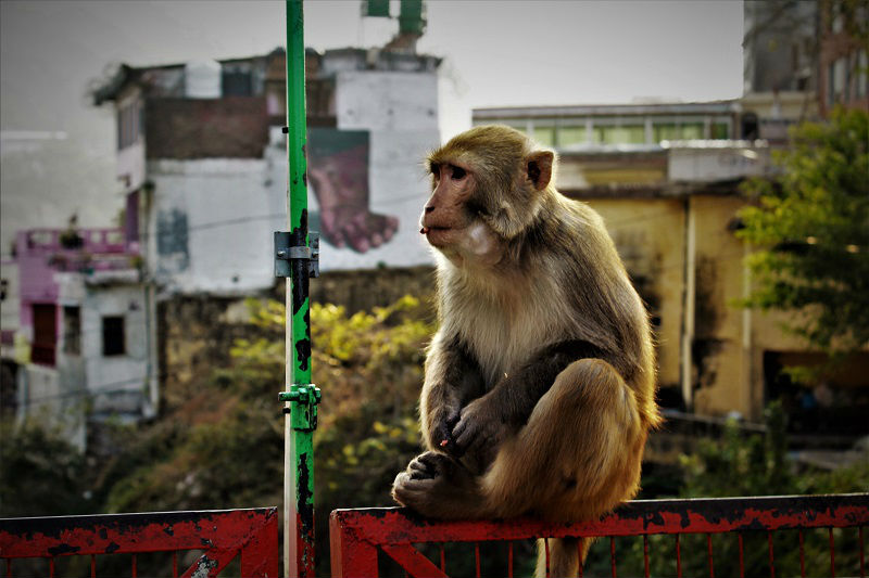 Monkey enjoying at Laxman Jhula Rishikesh Uttarakhand