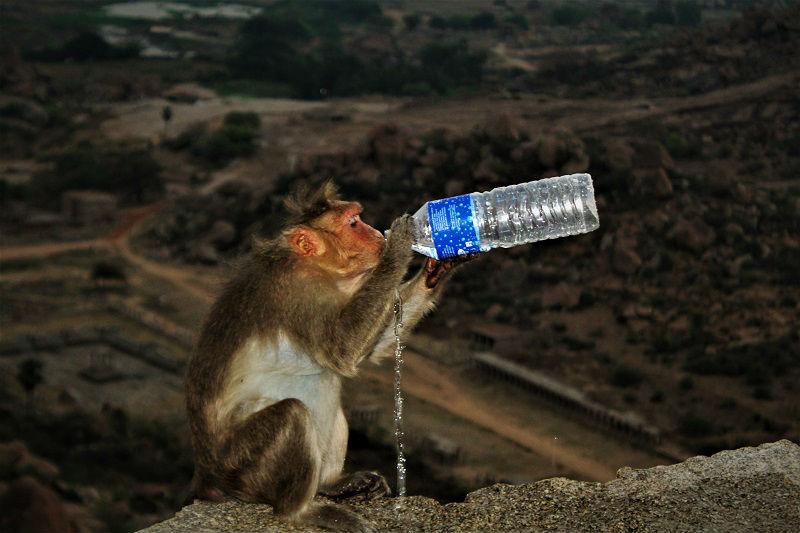 Monkey having water at Hampi