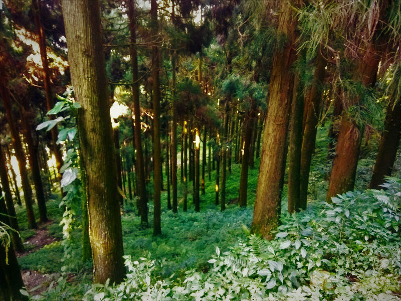 Thick forest cover Pelling Sikkim