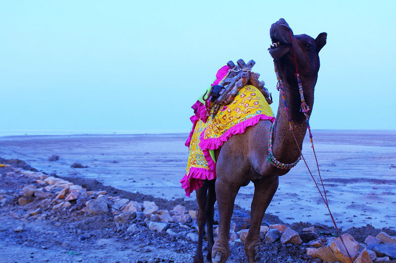 camel rann of kutch gujarat