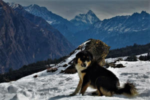 Hairy dog at Auli Hill Station Uttrakhand