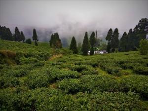 Happy valley Tea Estate Darjeeling must see places