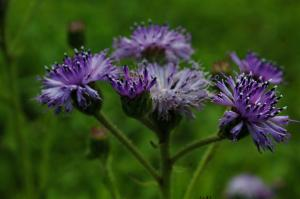 Kaas Plateau Satara beautiful flowers