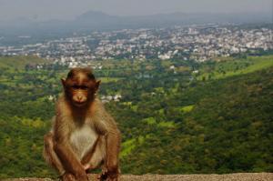 Monkey at Satara Hill Half Marathon Route