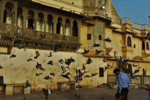 Pigeons at Gangaur Ghat Udaipur City