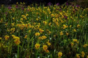 Yellow flowers Kaas Plateau Satara