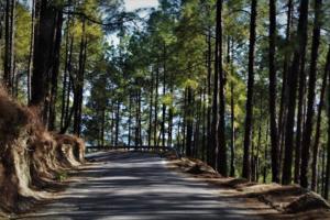 dense forest cover at Gwaldam Uttrakhand